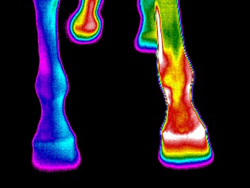 Termografía de las patas de un caballo